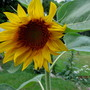 One and only, lonely little sunflower