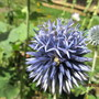 Echinops and friend...