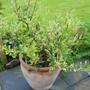 Baby Olive Tree (Olea europaea (Aceituna))