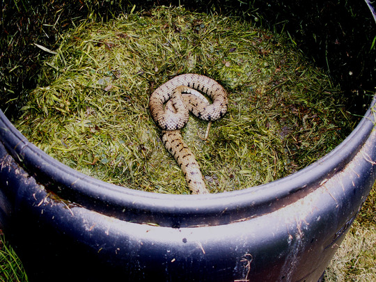 Grass snake for Bathgate