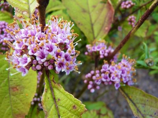 For Kath - Callicarpa flowers fading (Callicarpa bodinieri (Bodinier beautyberry))