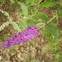 Buddleia [Butterfly Bush] Flowerhead 07.08 (Buddleja davidii 'Black Knight')