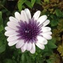 Double osteospermum Violet Ice