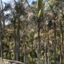 Archontophoenix cunninghamiana - King Palms (Archontophoenix cunninghamiana - King Palms)