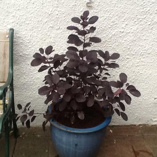 Cotinus coggygria Royal Purple (Cotinus coggygria (Smoke bush))