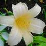 Pale, pale yellow simple DayLily