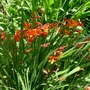 Crocosmia_jackanapes_2016