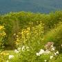 Perenial Sunflowers