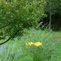 Russian Sage, Yellow Day Lily (late) Buddleia