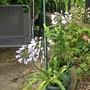 Agapanthus  (Agapanthus umbellatus (African blue lily))