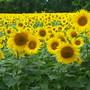More Sunflower Fields