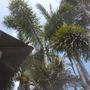 Wodyetia bifurcata  - Foxtail Palm Flowers and Seed (Wodyetia bifurcata  - Foxtail Palm)