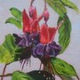 Fuschia painted in oils