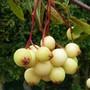 Sorbus cashmiriana berries (Sorbus cashmiriana (Kashmir Rowan))