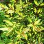 Eleagnus pungens 'Maculata' (Elaeagnus pungens (Elaeagnus))