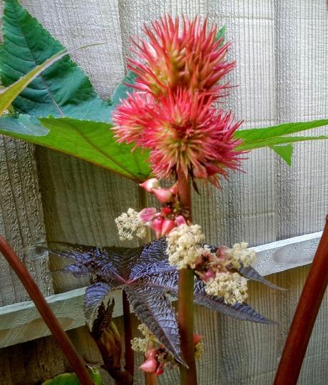 Ricinus making a show ..... (Ricinus communis (Castor oil plant))