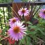 Echinacea purpurea on the deck (Echinacea purpurea)