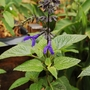 "Salvia ""Black and Bloom"" (Salvia guaranitica)"