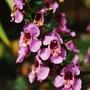 Angelonia angustifolia (Angelonia angustifolia)