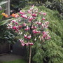 fuchsia paula jane  (for my file)