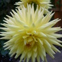 Yellow Dahlia given to us by one of our neighbours as a rooted cutting.