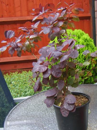 Cotinus coggygria 'royal purple' (Cotinus coggygria (Smoke bush))