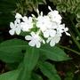 Phlox paniculata 'Fujiyama' - 2016 (Phlox paniculata)