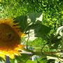 Sunflower Titan Head