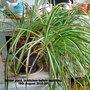 Spider_plant_in_kitchen_before_repotting_19th_august_2016_001