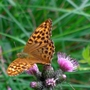 Butterfly on thistle in New Forest