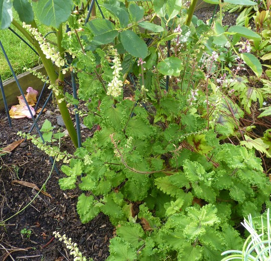 Disappointing Teucrium (Teucrium chamaedrys)
