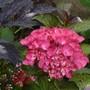 Hydrangea 'Red Angel' flowering at last! (Hydrangea macrophylla (Hortensia))
