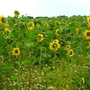 Sunflower field, New Forest