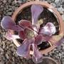Aeonium arboreum 'Velours' in the Greenhouse (Aeonium arboreum)