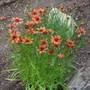 Coreopsis 'Pumpkin Pie' (Coreopsis rosea (Tickseed))