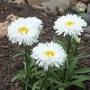 Leucanthemum 'Laspider' (Leucanthemum x superbum (Shasta daisy))
