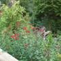 Salvia 'Royal Bumble' (Salvia)