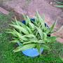 A Potted Aloe Vera Plant (Aloe vera (Aloe))