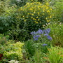 Agapanthus and Rudbeckia
