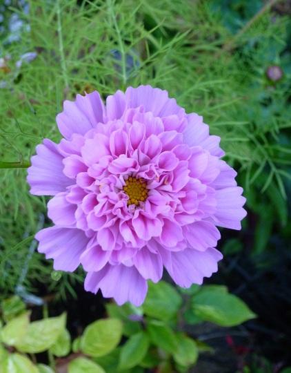 Cosmos bipinnatus 'Double Click Rose Bonbon' (Cosmos bipinnatus (Cosmos))