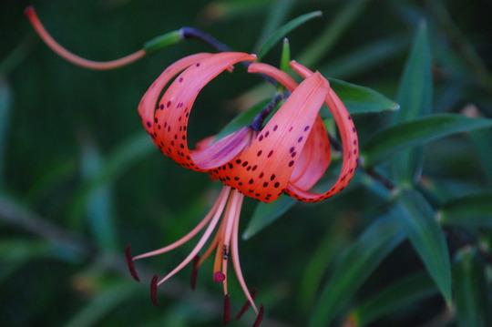 Orange Asiatic Lily