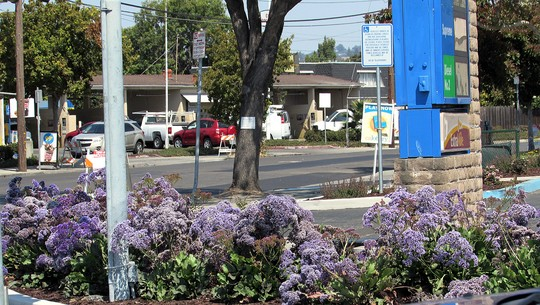 Gas Station flowers. (Limonium perezii (Sea Lavender Atlantis))