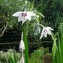 Gladiolus callianthus - 2016 (Gladiolus callianthus)