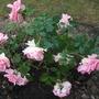 Rosa_you_re_beautiful