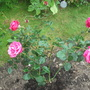 Rosa 'Charisma' red flowers opening to pink very fragrant, planted 5 new roses today making a pink bed