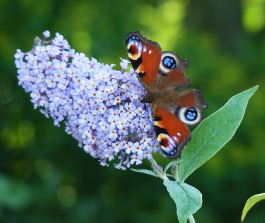 Blues (Buddleja davidii (Butterfly bush))