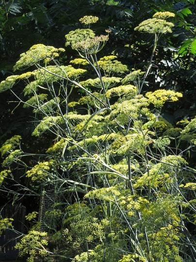 Blooms of  Foeniculum vulgare 'Purpureum' / Bronze Fennel  (Foeniculum vulgare 'Purpureum')