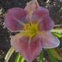 Daylily 'Pixie Pinwheel Party' (Hemerocallis)