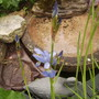 Water Iris [Iris laevigata.] in flower 05.08 (Iris laevigata (Vistabile))