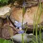 Iris laevigata (Vistabile)